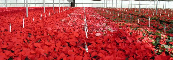 Milgro Nursery's greenhouses (poinsettias), Newcastle, Utah. Photo by Robert Blackett, Utah Geological Survey.